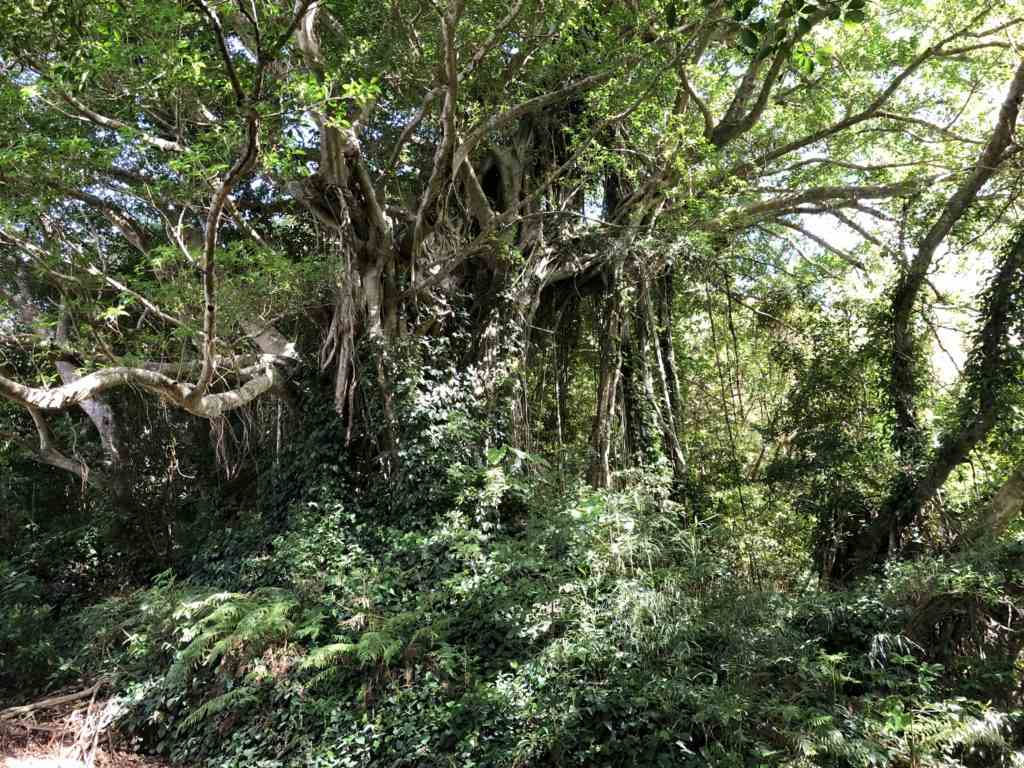 加計呂麻島武名のガジュマルの木