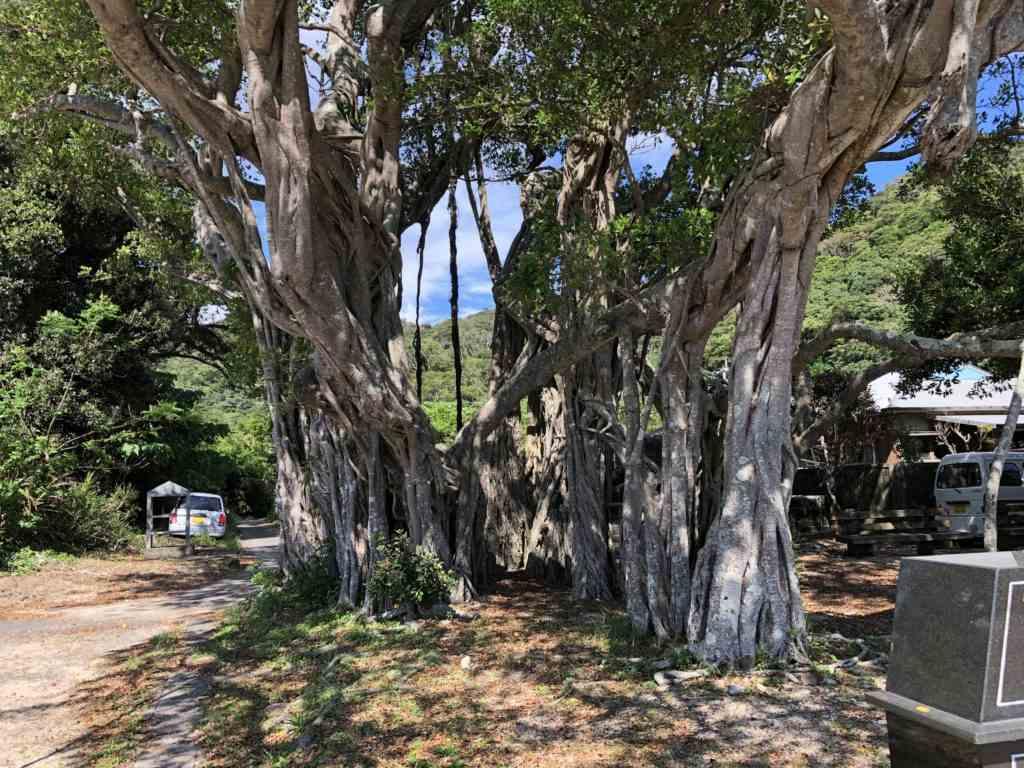 加計呂麻島於斎のガジュマルの木